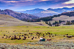 Amerikansk buffel & x28; Bisonbison& x29; I Yellowstonen Royaltyfri Foto