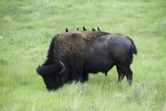 Amerikansk buffel i Custer State Park fotografering för bildbyråer