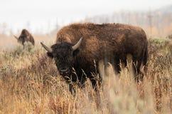 Amerikansk buffel i regnet Royaltyfria Bilder
