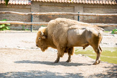Amerikansk buffel i zoo Arkivfoto
