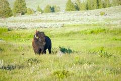 Amerikansk buffel med fågeln Arkivfoton