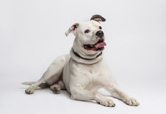 Amerikansk bulldogg (20 gamla månader) Royaltyfri Bild