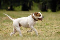 amerikansk bulldogg Arkivbild
