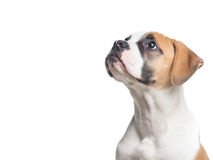 amerikansk bulldogg Fotografering för Bildbyråer