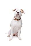 amerikansk bulldogg Arkivfoton