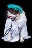 Amerikansk bulldogg för hund på den medicinska personalen för svart bakgrundsdoktor arkivfoto