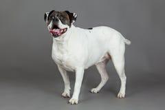 Amerikansk bulldogg på grått bakgrundsdjur Royaltyfri Foto