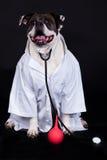 Amerikansk bulldogg på svart bakgrundsdoktorshund Royaltyfri Foto