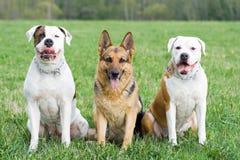 amerikansk bulldogggermany herde två arkivbild