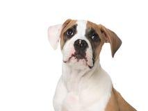 amerikansk bulldoggstående Arkivbild