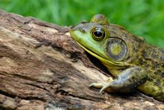 amerikansk bullfrog Royaltyfri Foto