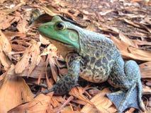 Amerikansk bullfrog Royaltyfria Bilder