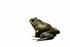 amerikansk bullfrog Royaltyfri Bild