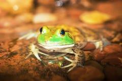 amerikansk bullfrog Arkivbilder