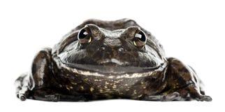 Amerikansk bullfrog eller bullfrog, Ranacatesbeiana Arkivfoto
