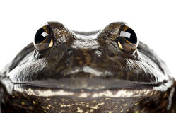 Amerikansk bullfrog eller bullfrog, Ranacatesbeiana Royaltyfri Fotografi