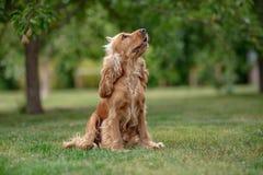 Amerikansk cockerspanielhund i parkera Arkivbild
