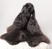 amerikansk cockerspanielvalpspaniel Fotografering för Bildbyråer