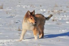 Amerikansk collie i snön Fotografering för Bildbyråer