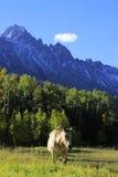 Amerikansk fjärdedelhäst i ett fält, Rocky Mountains, Colorado Arkivbilder