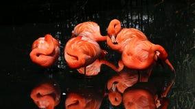 amerikansk flamingo lager videofilmer
