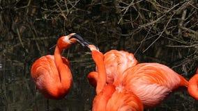 amerikansk flamingo stock video