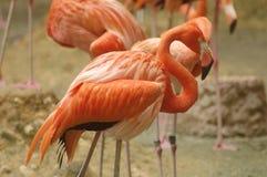 amerikansk flamingo Arkivbild