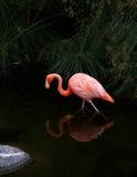 Amerikansk flamingo med reflexion i vatten. Arkivbild