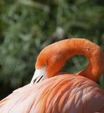 Amerikansk flamingo på Gatorland Florida Arkivbilder