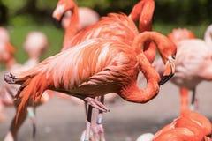 Amerikansk flamingo - Phoenicopterus ruber - härlig röd kulör fågel Arkivfoto