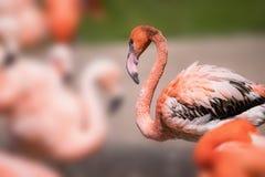 Amerikansk flamingo - Phoenicopterus ruber - härlig röd kulör fågel Arkivbilder