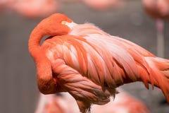 Amerikansk flamingo - Phoenicopterus ruber - härlig röd kulör fågel Royaltyfri Bild