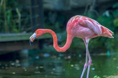 Amerikansk flamingo som söker för mat arkivbilder