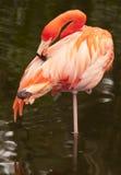 amerikansk flamingopink arkivbilder