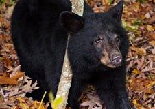 Amerikansk gröngöling för svart björn som ses längs horisontdrev i Shenandoah Royaltyfri Fotografi