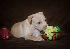 Amerikansk grop bull terrier för liten valp Fotografering för Bildbyråer