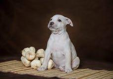 Amerikansk grop bull terrier för liten valp Royaltyfria Foton