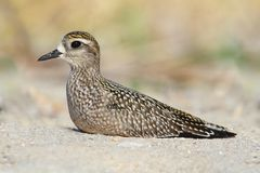 Amerikansk Guld--brockfågel (pluvialisen Dominica) Arkivbild