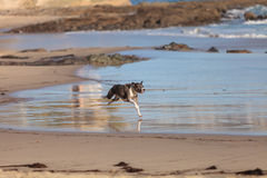 amerikansk hund för clipping 3d över för staffordshire för banaframförandeskugga white terrier Royaltyfria Foton