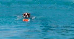 amerikansk hund för clipping 3d över för staffordshire för banaframförandeskugga white terrier Royaltyfri Foto