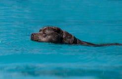 amerikansk hund för clipping 3d över för staffordshire för banaframförandeskugga white terrier Royaltyfri Bild
