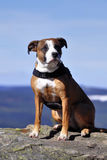 amerikansk hundstafford Royaltyfri Foto