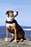amerikansk hundstafford Arkivfoto