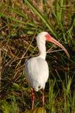 amerikansk ibis white Arkivbilder