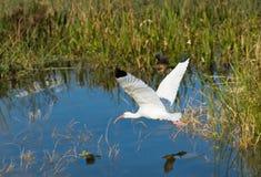 amerikansk ibis white Fotografering för Bildbyråer