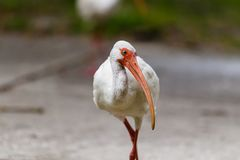 amerikansk ibis white Arkivfoton