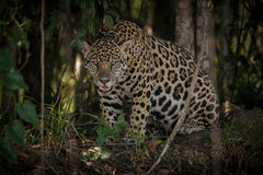 Amerikansk jaguar i mörkret av en brasiliansk djungel Arkivfoto