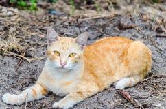 Amerikansk katt för kort hår Arkivfoton