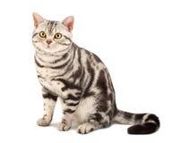 amerikansk kattshorthair Royaltyfri Fotografi