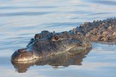 Amerikansk krokodil Fotografering för Bildbyråer